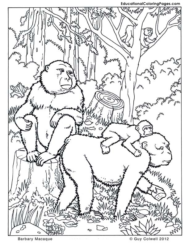 Barbary-Macaques, monkey coloring pages