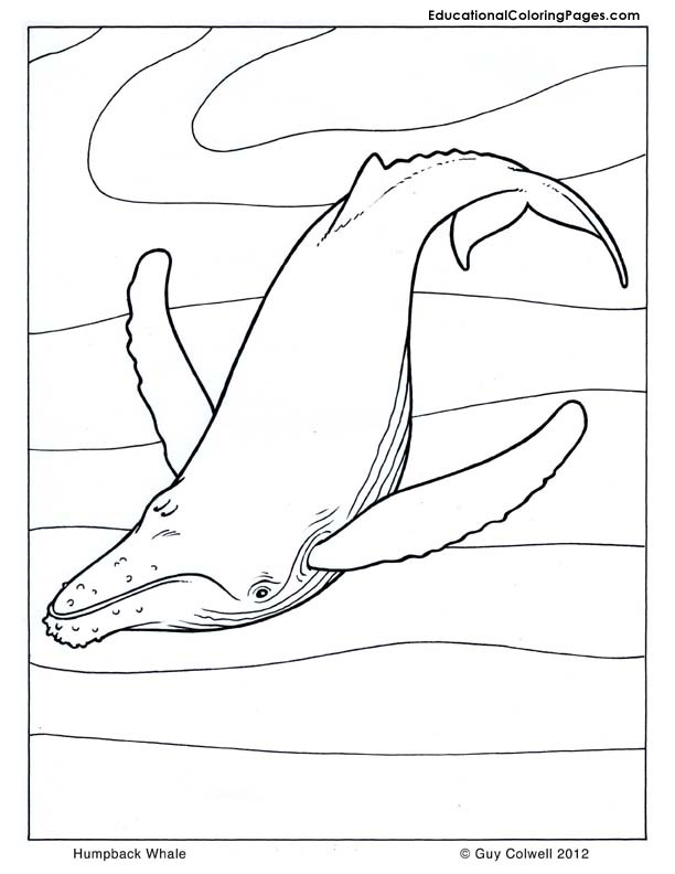 Humpback Whale coloring pages