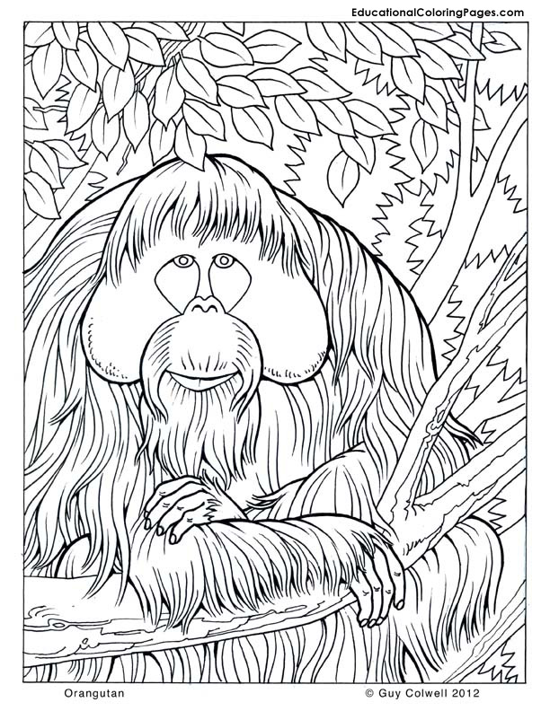 Orangutan, jungle coloring