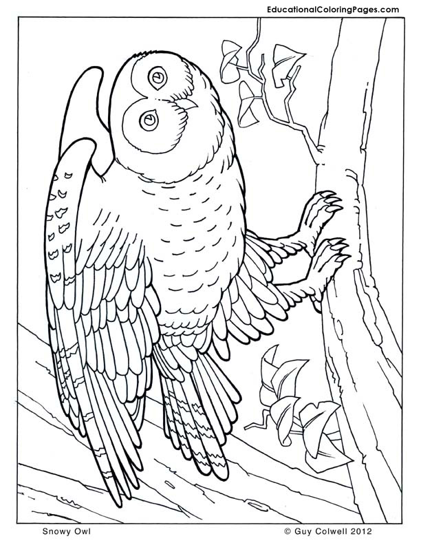 owl coloring pages, owl image